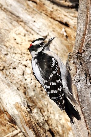 January 14 2019 - Downy Woodpecker