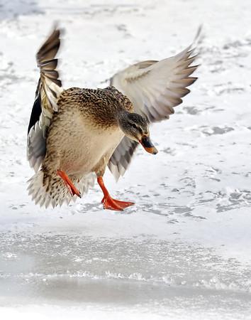 January 28 2019 - Mallard Landing