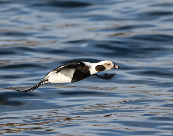 January 17 2019 - Long Tailed Duck