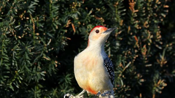 January 15 2019 - Red Bellied Woodpecker