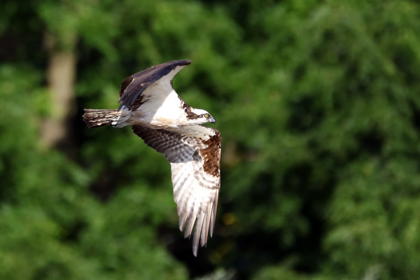 July 22 2019 - Osprey