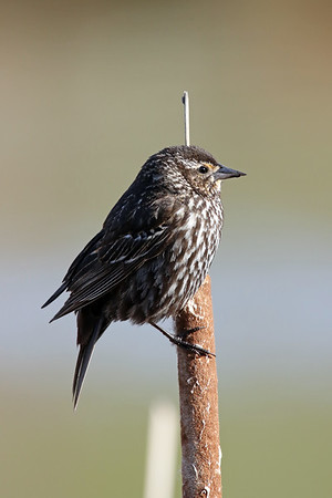 July 19 2019 - Female Red-Winged Blackbird