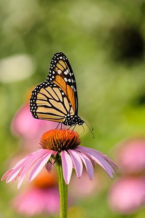 July 27 2019 - Monarch Butterfly