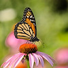 July 27 2019 - Monarch Butterfly