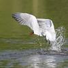 July 8 2019 - Caspian Tern