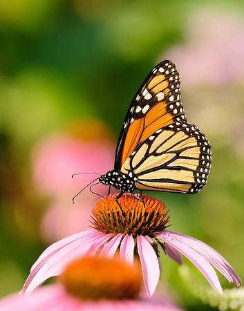 July 30 2019 - Monarch Butterfly