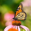 July 30 2019 - Monarch Butterfly