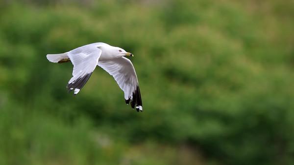 July 6 2019 - Ring-Billed Gull