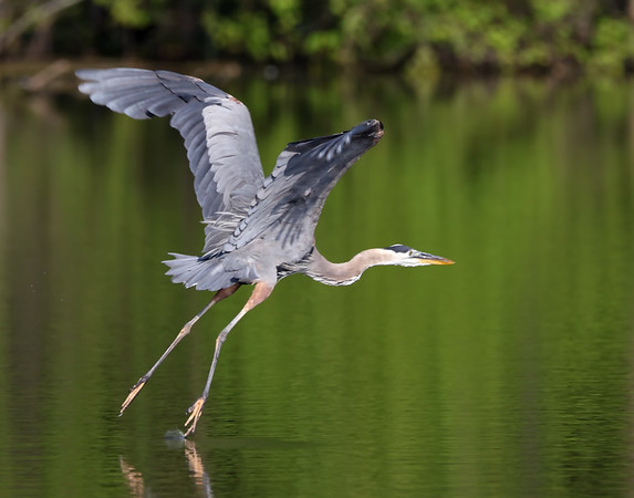 July 21 2019 - Great Blue Heron