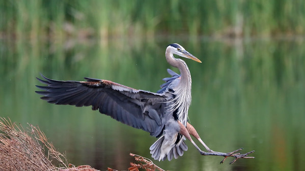 July 13 2019 - Great Blue Heron