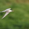 July 11 2019 - Common Tern