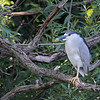 July 256 2019 - Night Heron