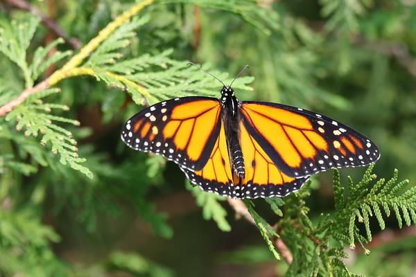 July 12 2019 - Monarch Butterfly