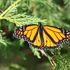 July 12 2019 - Monarch Butterfly