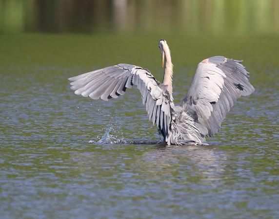 July 2 2019 - Great Blue Heron