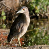 July 7 2019 - Night Heron