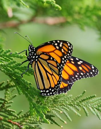 July 23 2019 - Monarch Butterfly
