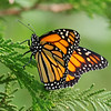 July 23 2019 - Monarch Butterfly