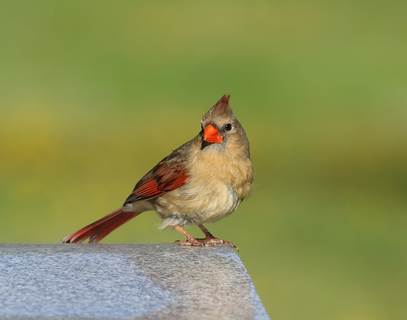 June 4 2019 - Female Cardinal