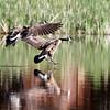 June 11 2019 - Geese Landing