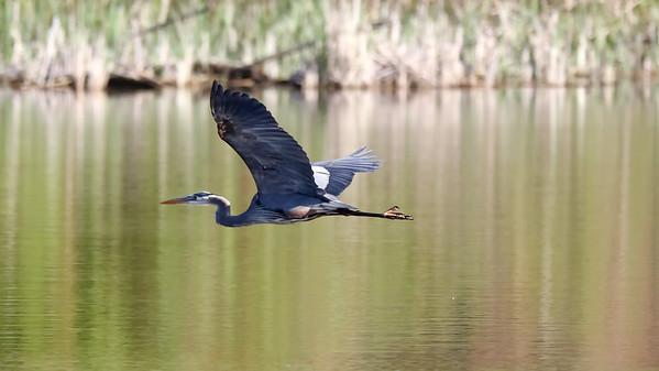 June 1 2019 - Great Blue Heron