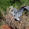 June 26 2019 - Great Blue Heron