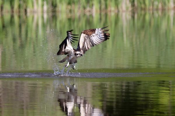 June 21 2019 - Osprey