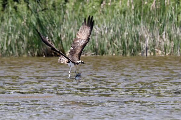 June 10 2019 - Osprey