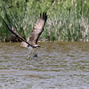 June 10 2019 - Osprey