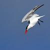 June 27 2019 - Tern Dive