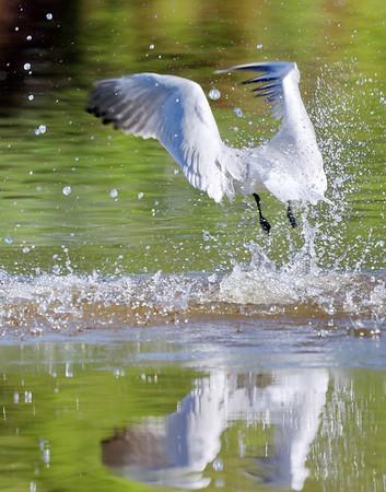 June 19 2019 - Caspian Tern