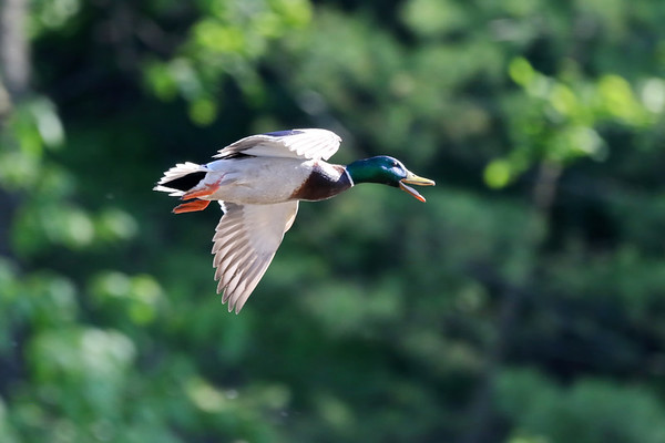 June 25 2019 - Mallard Duck