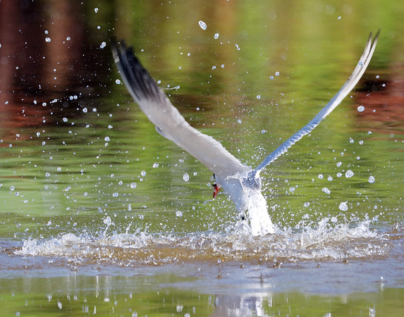 June 9 2019 - Caspian Tern