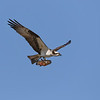 June 13 2019 - Osprey With Fish