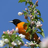 June 6 2019 - Oriole