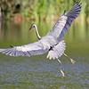 June 29 2019 - Great Blue Heron