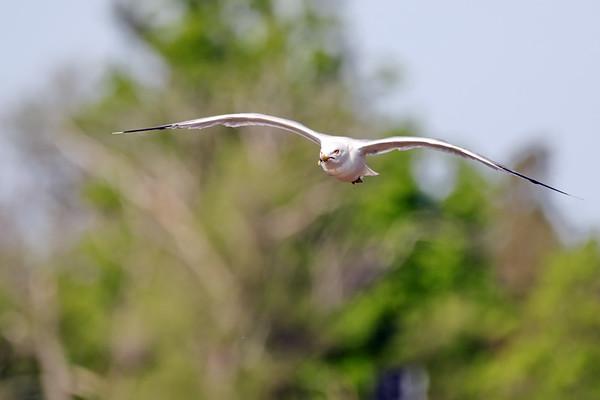June 15 2019 - Ring Billed Gull