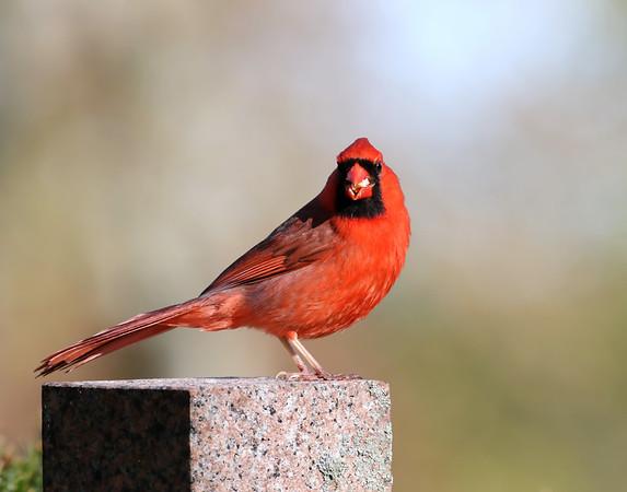 June 5 2019 - Male Cardinal
