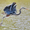 June 8 2019 - Great Blue Heron