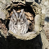 March 27 2019 - Screech Owl