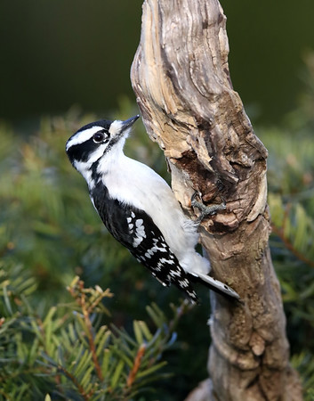 March 31 2019 - Downy Woodpecker