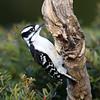 March 31 2019 - Downy Woodpecker