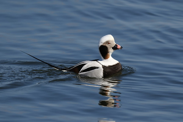 March 17 2019 - Long Tailed Duck