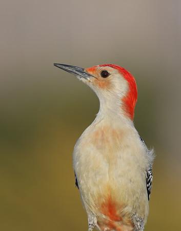March 5 2019 - Red Bellied Woodpecker