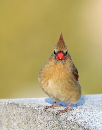 March 1 2019 - Female Northern Cardinal