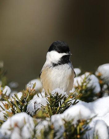 March 12 2019 - Chickadee