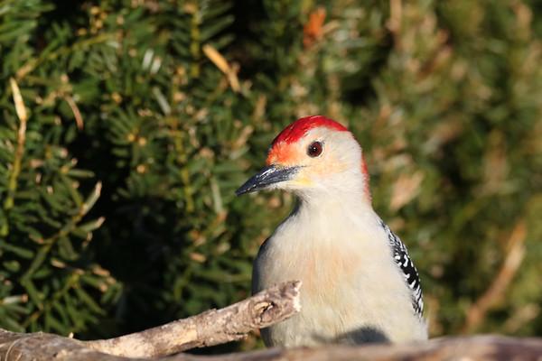 March 28 2019 - Red Bellied Woodpecker