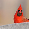 March 24 2019 - Northern Cardinal