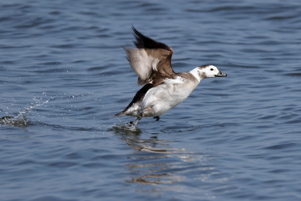 March 25 2019 - Long Tailed Duck