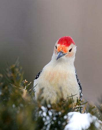 March 9 2019 - Red Bellied Woodpecker